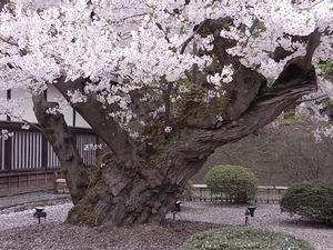 弘前城日本最古のソメイヨシノの幹アップ