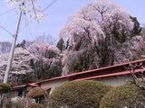 浪岡邸の枝垂桜3