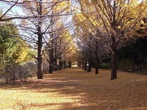 国営昭和記念公園のイチョウの並木道06