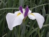 白と紫色の花菖蒲2