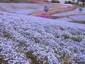 太田市北部運動公園 おおた芝桜まつり ネモフィラの花畑1