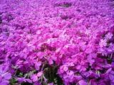 羊山公園の芝桜10