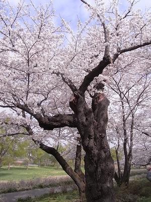 北上展勝地 満開の花を咲かせた古木の桜の木