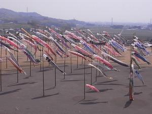 太田北部運動公園おおた芝桜まつり 鯉のぼりアップ