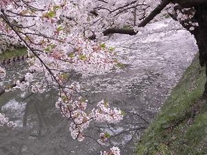 弘前城お堀の周りの辛うじて見頃の桜とお堀に散った花びら