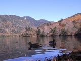 湯ノ湖のカモ01