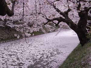 徐々に桜の花びらで埋め尽くされていく弘前城のお堀