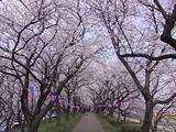 権現堂桜堤の堤の上3