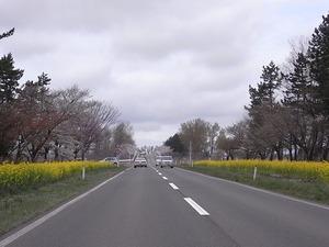 八郎潟11kmの菜の花と桜並木 大潟富士手前