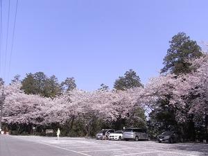 太平山謙信平駐車場を取り囲む桜を下から