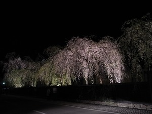角館武家屋敷 角館樺細工伝承館 ライトアップされたしだれ桜たち