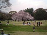 砧公園の桜11
