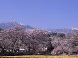 実相寺境内の外から桜を見る4