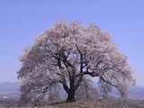 王仁塚の桜1