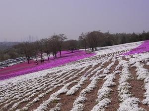 太田北部運動公園おおた芝桜まつり 白い芝桜
