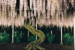 あしかがフラワーパークライトアップに浮かび上がる藤の花の下