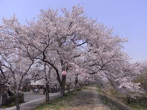 金崎のさくらまつり桜のトンネル風