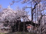 山高神代桜のアップ3
