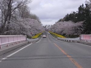 八郎潟11kmの菜の花と桜並木 大潟富士の橋を越えたところ