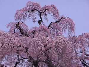 三春滝桜の花1