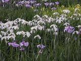 花菖蒲の花畑3