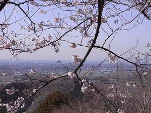 太平山 謙信平の桜アップ1