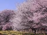 実相寺境内の桜たち2