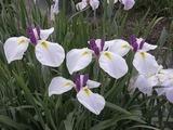 白と紫色の花菖蒲6