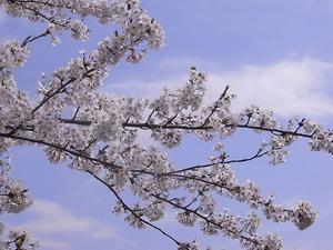 北上展勝地 びっしり花を咲かせた桜の枝
