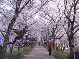 幸手権現堂堤の桜16