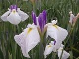 白と紫色の花菖蒲4
