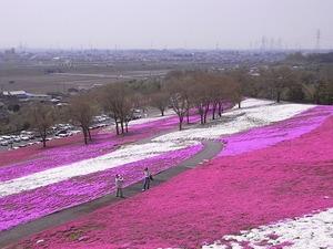 太田北部運動公園おおた芝桜まつり 展望台からの眺め
