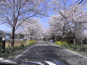 太平山遊覧道路 桜のトンネル2