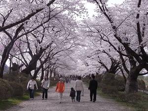 北上展勝地 満開の桜のトンネル4