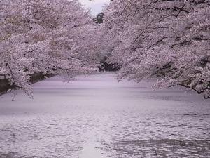 弘前城追手門側から見た桜の花びらで埋め尽くされたお堀