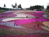 羊山公園の芝桜12