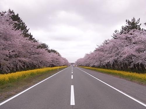 大潟村11kmの菜の花畑と桜並木