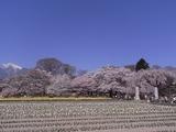 実相寺境内の外から桜を見る2