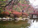 梅が満開水戸偕楽園14