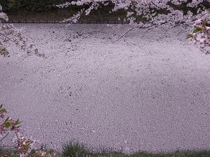 弘前城のお堀を目一杯埋め尽くした桜の花びら