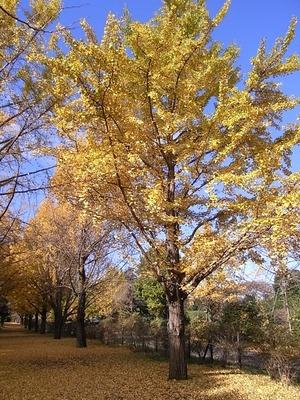 国営昭和記念公園の黄葉したイチョウ03