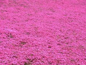 太田市北部運動公園 おおた芝桜まつり 密集した赤い芝桜