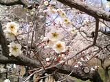 梅が満開水戸偕楽園08