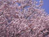 王仁塚の桜アップ3