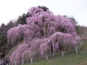 三春滝桜の正面