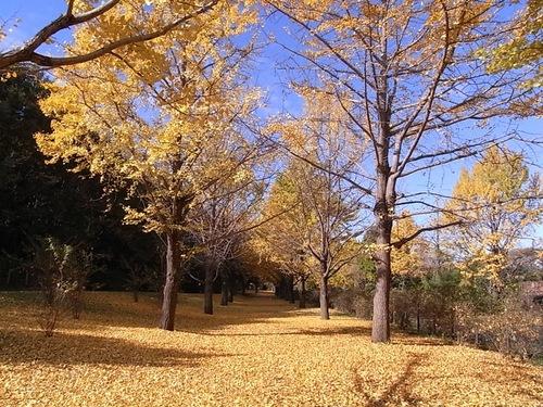 昭和記念公園のイチョウ並木00