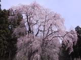 浪岡邸の枝垂桜1
