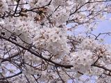 満開の桜アップ3
