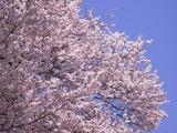 王仁塚の桜アップ4
