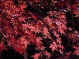 ライトアップされた紅葉のアップ2